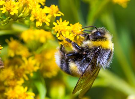 Photo pour Bumblebee (Bombus pascuorum) on a yellow flower - image libre de droit
