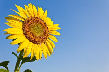 Blooming sunflower in the blue sky background
