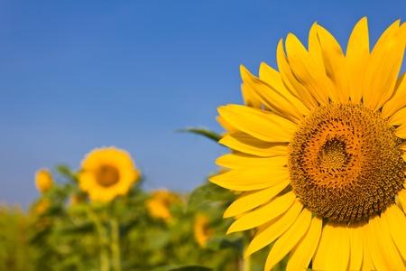 Photo pour portrait of a sunflower in the field - image libre de droit