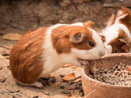 Cute guinea pig feeding in the zoo.の写真素材