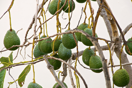 Avocado tree in the village of La Calera on the island of La Gomera. The island of La Gomera is characterized by its diverse nature.