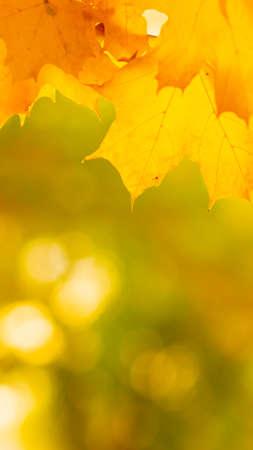 Photo pour Autumn background with maple leaves. Autumn orange leaves over blurred background. Copy space - image libre de droit
