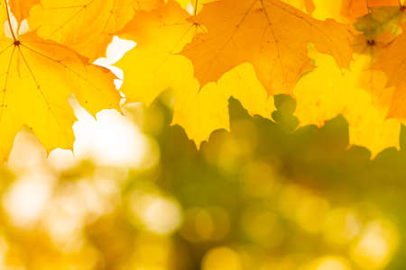 Photo pour Autumn background with maple leaves. Yellow maple leaves on a blurred background. Copy space - image libre de droit