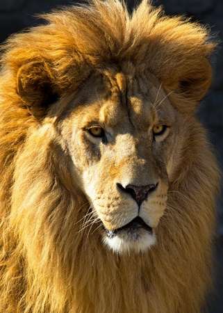 Closeup of a lion lightened by the morning sun.