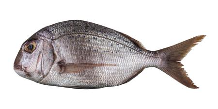 Photo pour Raw fresh sea fish Dorado isolated on white background. - image libre de droit