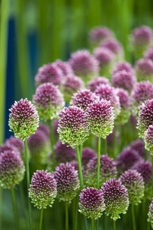 allium sphaerocephalon flowers