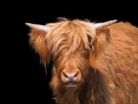 Scottish Highland cattle closeup against dark background