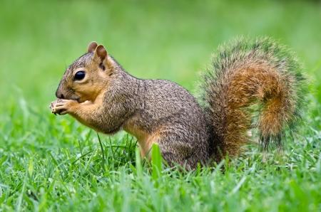 Young Eastern Fox squirrel  Sciurus niger  eating bird seeds in the garden