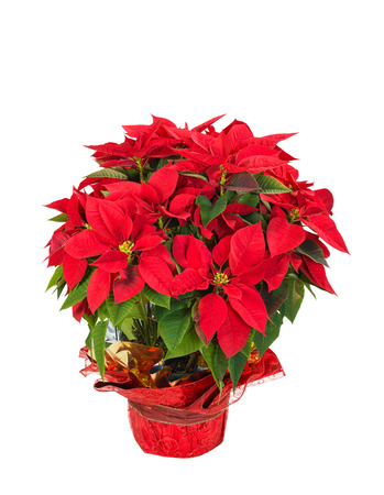 Red poinsettia (Euphorbia pulcherrima) in a festive flower pot, isolated over white background