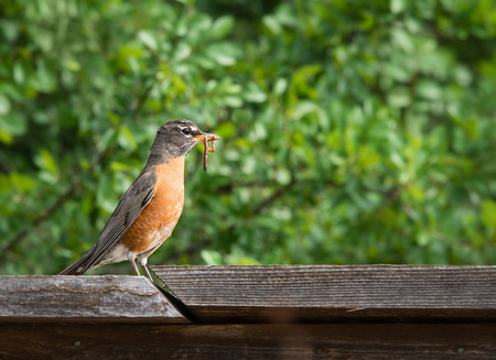 American robin (Turdus migratorius) perched on wood fence with worm. Natural green background.