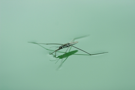 Water spider or pond skater floating on the water surface.