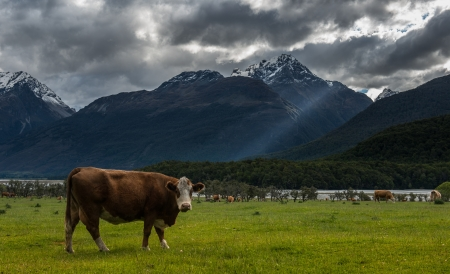 Cows fram in New Zealand