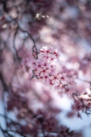 Photo pour Beautiful cherry blossom sakura in spring time over blue sky. - image libre de droit