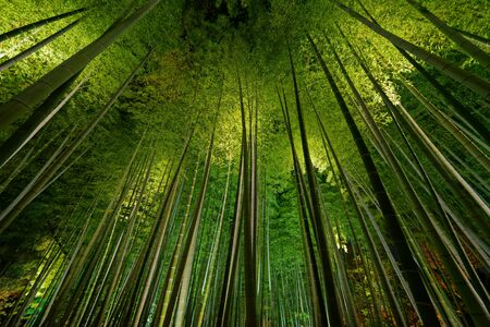 Photo pour Bamboo grove, bamboo forest in Arashiyama, Kyoto, Japan - image libre de droit