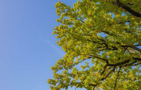 Foto de oak tree branches o blue sky background. - Imagen libre de derechos