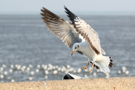 Photo for Seagull landing on the ground - Royalty Free Image