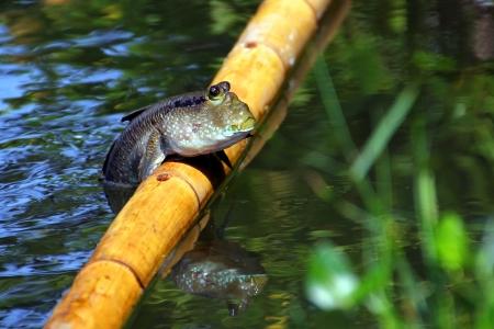 Mudskipper resting on the bamboo