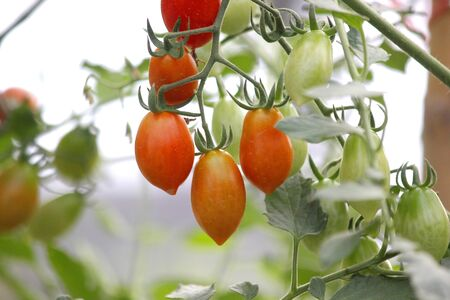Photo for cherry tomato hanging on tree in organic farm - Royalty Free Image