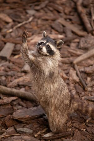 Foto de single raccoon stand on hinder legs looks up - Imagen libre de derechos