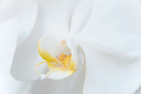delicate white-yellow orchid flower macro closeup