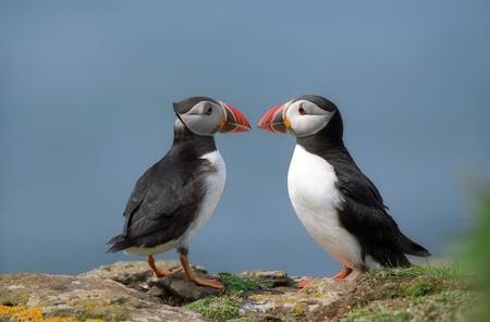 Two funny puffins on coastline Scotland