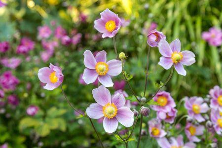 Photo pour Delicate pink Anemone flowers, with a shallow depth of field - image libre de droit
