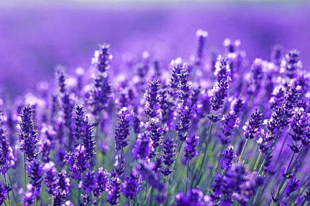 beautiful close up shot of lavender flowers at the field