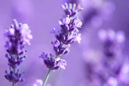 Foto de beautiful close up shot of lavender flowers at the field - Imagen libre de derechos