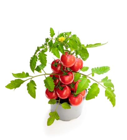 Foto de Fresh  home grown tomato plant with tomatoes. Concept of huge harvest - Imagen libre de derechos