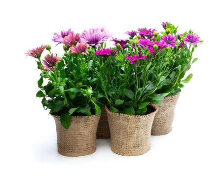Photo for Group  of colorful daisy flowers in small pots decorated with sackcloth isolated on white - Royalty Free Image