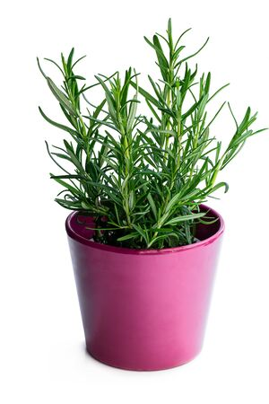 Photo for Rosemary  plant in purple pot isolated on white background - Royalty Free Image
