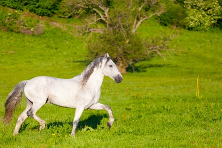 Galloping Gray Arabian Horse