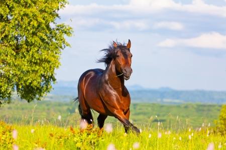 Arab racer runs on a green summer meadow