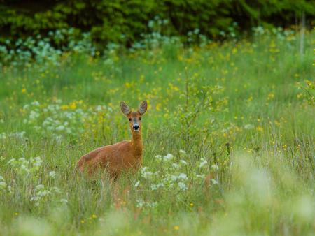 Deer on the summer meadow