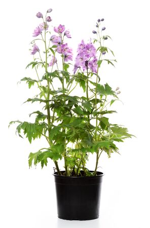 Photo for pot with delphinium plant on white background - Royalty Free Image