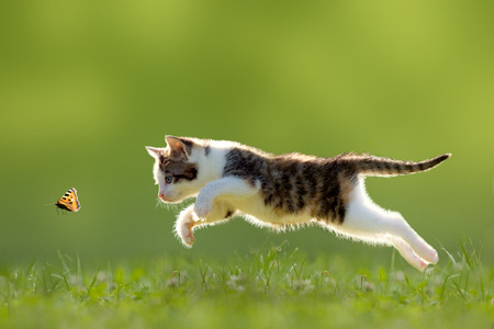 Photo pour young cat hunting butterfly on a meadow backlit - image libre de droit