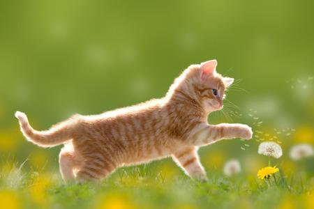 Foto de Young cat plays with dandelion in Back light on green meadow - Imagen libre de derechos