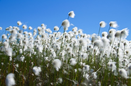 �¡otton Grass against the blue sky. Windy weather. Russia, Western Siberia