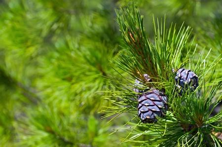 Siberian cedar. Background of young pine cones.
