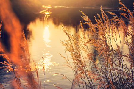 Autumn landscape. Reed by the river in the rays setting sun