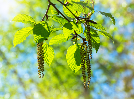Photo pour Branch of alders with earrings and green leaves close-up - image libre de droit