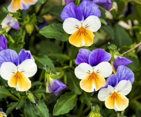 viola tricolor in my garden