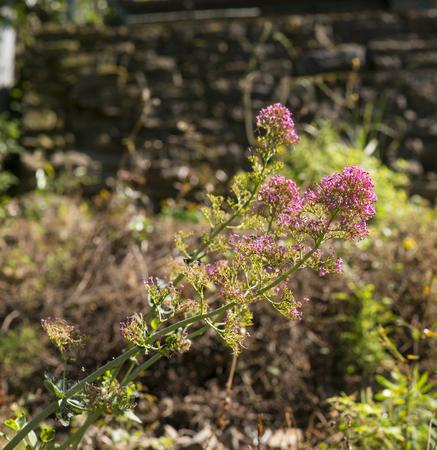 red valerian in a meadow in la spezia