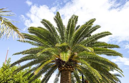 tree of palm in a garden in la spezia