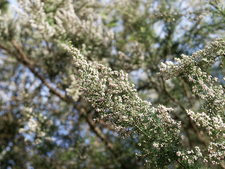 detail of erica flower in a meadow