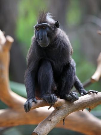 Crested Black Macaque  Macaca nigra