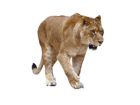 Lioness - isolated on white background