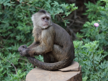 capuchin monkey: Royalty-free images, photos and pictures