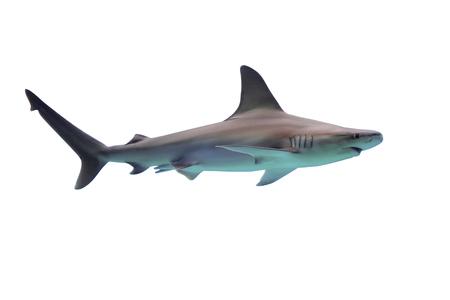 Photo for Shark isolated on white background - Royalty Free Image