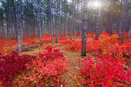 Fantastic forest with Cotinus coggygria. Autumn leaves. Crimea Ukraine Europe. Beauty worl